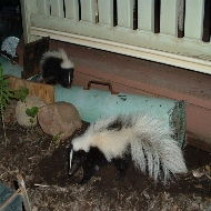 how to build a tube trap for skunks